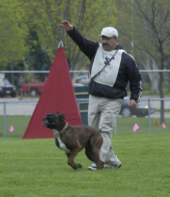 George Markos and working German Boxer Ivo vom Hafen, Schutzhund 3, IPO3, FH2- Photo by Dave Garot