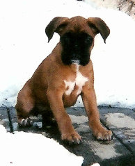 Baby German Boxer Andra- Photo by Cathy Hubert Markos