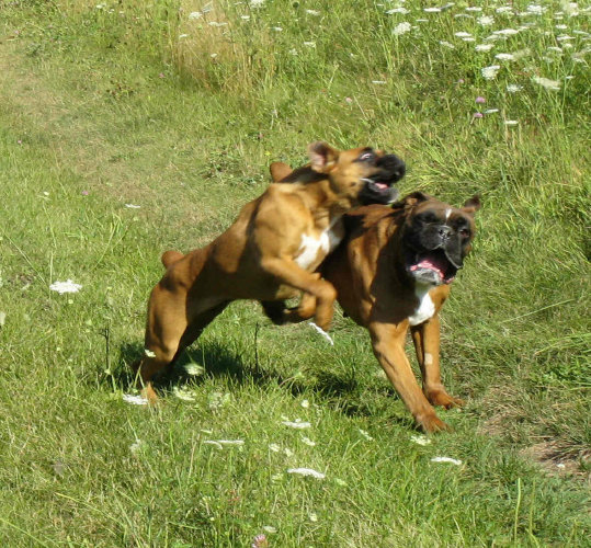 German Boxer female Anderes Bachbett von Waldstadt- Photo by Cathy Hubert Markos